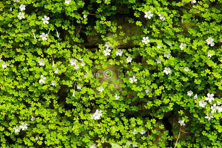 France, Alpes-Maritimes (06), Menton, jardin Serre de la Madone :.Oxalis sp.
