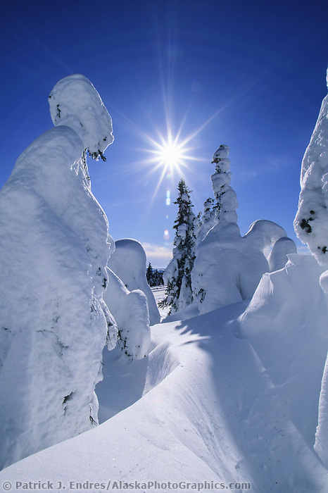 Sun shines through spruce trees heavily covered with snow from high winds, Arctic Alaska.