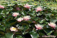 0723-1007  Full Bloom Water Lilies - Nymphaea  © David Kuhn/Dwight Kuhn Photography