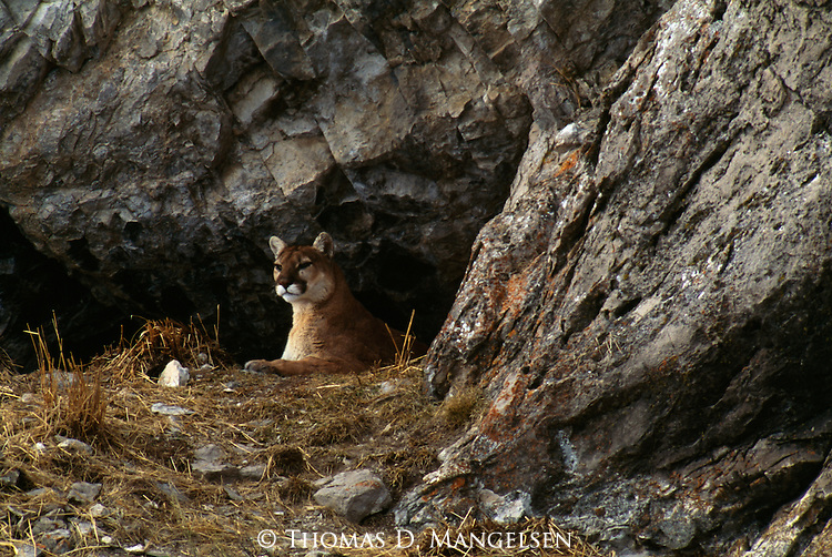 Mountain lion lying outside of den in the National Elk Refuge in Jackson Hole, WY