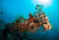 Coral-covered turret, with sun in background, Liberty Wreck dive site, Tulamben, near Seraya, Bali, Indonesia, Indian Ocean