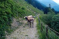 Liechtenstein  Triesenberg  June 2008.Cows to the pasture...