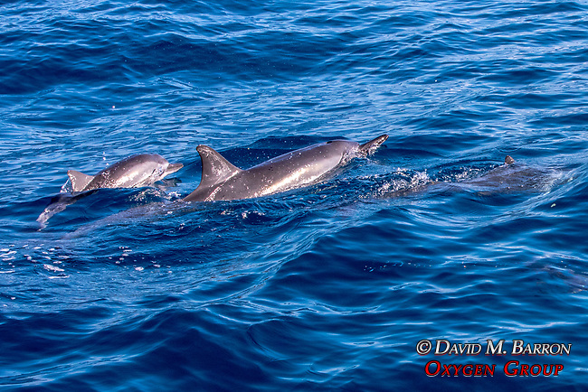 Spinner Dolphins & Baby