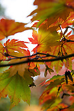 USA, Oregon, Ashland, Fall leaves on trees in the Japanese garden in Lithia Park in the Fall
