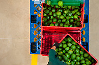 A Colombian worker carries a crate of avocados at a processing plant in Sonsón, Antioquia department, Colombia, 23 October 2019. Over the past decade, the Colombian avocado industry has experienced massive growth, both as a result of general economic development in Colombia, and the increased global demand for so-called superfood products. The geographical and climate conditions in Antioquia (high altitude, no seasonal extremes, high precipitation rate) allow two harvest windows of the Hass avocado variety across the year. Although the majority of the Colombian avocado exports are destined towards Europe now, Colombia aspires to become one of the major avocado suppliers to the U.S. market in the near future.
