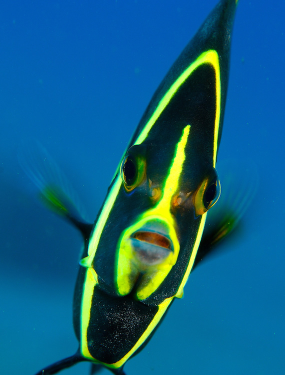 An inquisitive French Angelfish Juvenile (Pomacanthus paru), St Vincent