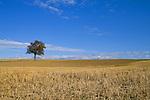 Europa, DEU, Deutschland, Rheinland Pfalz, Naturpark Saar-Hunsrueck, Agrarlandschaft, Feld, Acker, nach der Ernte, Baum, Obstbaum, Kategorien und Themen, Natur, Umwelt, Landschaft, Jahreszeiten, Stimmungen, Landschaftsfotografie, Landschaften, Landschaftsphoto, Landschaftsphotographie, Landwirtschaft, Agrarlandschaft, Agrar, Agrarwirtschaft, Anbau, Feld, Acker, Nutzpflanzen, Nutzpflanze....[Fuer die Nutzung gelten die jeweils gueltigen Allgemeinen Liefer-und Geschaeftsbedingungen. Nutzung nur gegen Verwendungsmeldung und Nachweis. Download der AGB unter http://www.image-box.com oder werden auf Anfrage zugesendet. Freigabe ist vorher erforderlich. Jede Nutzung des Fotos ist honorarpflichtig gemaess derzeit gueltiger MFM Liste - Kontakt, Uwe Schmid-Fotografie, Duisburg, Tel. (+49).2065.677997, ..archiv@image-box.com, www.image-box.com]