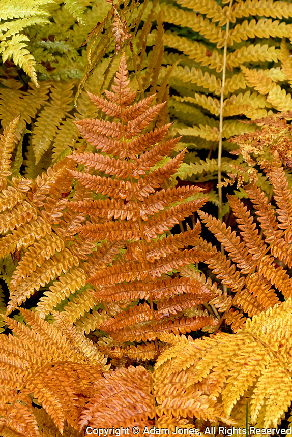 Ferns in autumn colors, Hiawatha National Forest, Upper Peninsula of Michigan.