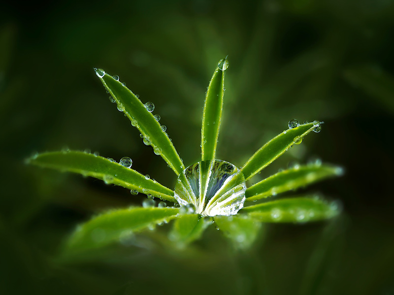 Lupine leaves after rain storm. The Connie Hansen Garden. Lincoln City, Oregon