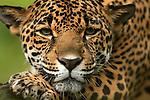 Jaguar (Panthera onca), Costa Rica.