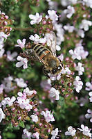 A bee on thyme blossoms.