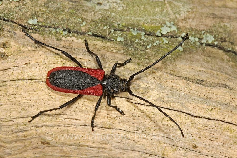 Purpurbock, Purpurbockkäfer, Purpur-Bockkäfer, Purpur-Bock,  Blutbock, Purpuricenus kaehleri, Long-horned beetle, Purpuricène de Kaehler