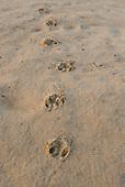 Pará State, Brazil. Xingu River; island beach; Tapir footprints.