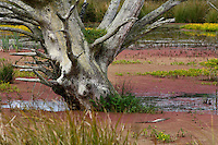The trunk of a barren, gray tree rises from the plant-covered water of a bog on Samoa near Eureka in Humboldt County in Northern California.