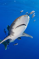 oceanic whitetip shark, Carcharhinus longimanus, with pilot fish, Naucrates ductor, Mozambique Channel, located between Madagascar and Mozambique, Africa, Indian Ocean