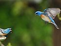 Lazuli Buntings`