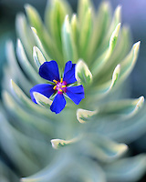 Pacific blue pimernel bloom caught on euphorbia plant