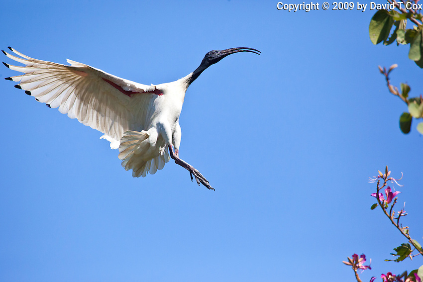 Australian White Ibis in flight, Botanical Gardens, Sydney, Australia