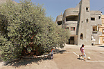 Israel, the Lower Galilee. Olive Tree in Arabe', the most ancient one in the Mediterranean