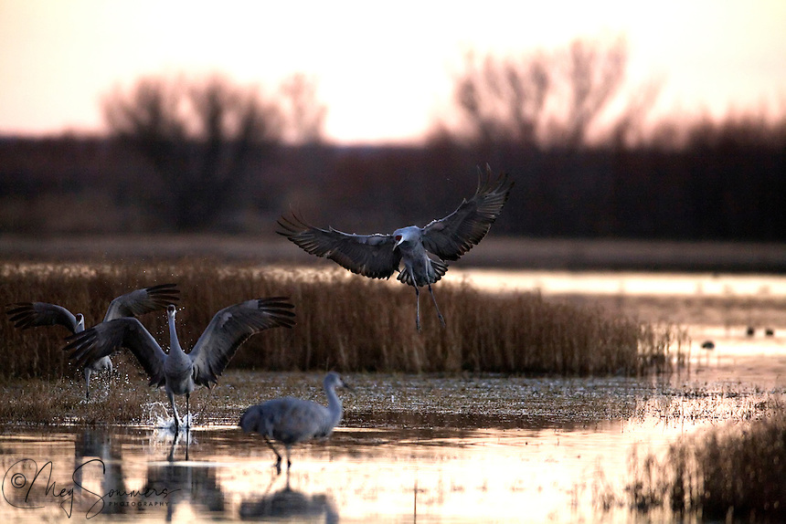 Sandhill cranes family returning for their evening roost. Bosque del Apache National Wildlife Refuge in southern Socorro County, New Mexico.
