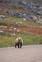 Grizzly bear, James Dalton Highway, Brooks Range, Alaska