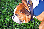 November 2nd, 2019:  Walter the Yale Bulldog [mascot] takes a halftime break as his team defeated the Columbia Lions 45-10 in Ivy League football.  The game was held at the Yale Bowl in New Haven, Connecticut. Heary/Eclipse Sportswire/CSM