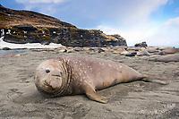South Georgia Island, Moltke Harbor, Southern elephant seal (Mirounga leonina)