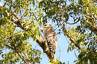 Red-Shouldered Hawk photographed at Green Cay Wetlands, Boynton Beach, Florida.