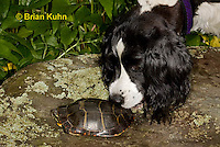 1R13-9036  Painted Turtle - Springer spaniel investigating - Chrysemys picta. © Brian Kuhn/Dwight Kuhn Photography