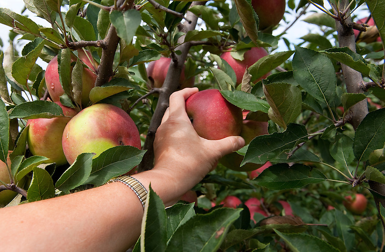 UNITED STATES -Sept 27: Barb Polek of Maryland picks apples at Maple Lawn Farms in York County, Pennsylvania.The farm has been run by the same family for 145 years and offers pick your own cherries, blueberries, peaches, apricots, plums, apples, pumpkins, fresh baked goods, pies, bread, cookies, muffins, and other goodies. Also offer things for kids to do like a corn maze called Maize Quest adventure & theme park. Premier destination for families, groups, school tours, scouts, young and old alike. Great escape to scenic countryside, breath-taking views. (Photo By Douglas Graham/Roll Call )