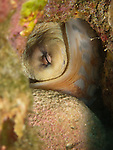 Kenting, Taiwan -- Octopus hiding in a hole.<br /> <br /> This octopus even tried to cover the entrance to his hole with a small rock (visible in front of him) for more protection. Octopuses often show this kind of behavior, essentially building themselves a temporary home!