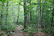 Two young trees along the Mt Tecumseh Trail in the New Hampshire White Mountains that have been cut at waist level in 2011. Basic trail maintenance guidelines state that proper technique, when brushing a trail, is to cut young trees flush with the ground. Leaving pointed stumps are dangerous if stepped or fallen upon.