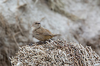 Cobb's Wren on Carcass Island, the Falkland Islands