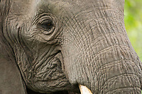Close-up of the eye of an African Elephant, Loxodonta africana, in Lake Manyara National Park, Tanzania