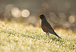 American Robin (Turdus migratorius) on lawn, backlighting, Ithaca, New York, USA (Subtle use of fill-flash)