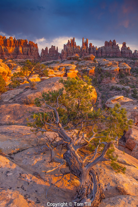 Utah juniper and the Needles at sunset, Canyonlands National Park, Utah    Juniperus osteosperma