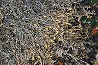 Knotentang, Knoten-Tang, Ascophyllum nodosum, Ascophylla nodosa, rockweed, Norwegian kelp, knotted kelp, knotted wrack, egg wrack, Yellow Tang, Knobbed Wrack