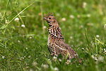 Ruffed grouse in July