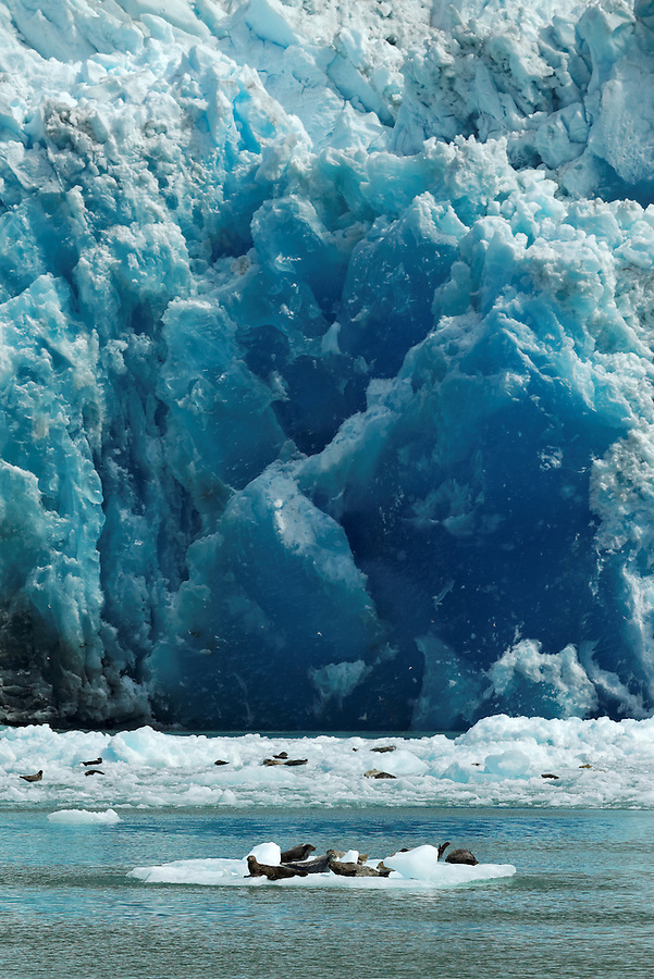 Harbor seals on icebergs floating below terminus face of South Sawyer Glacier, Tracy Arm, Southeast Alaska, USA