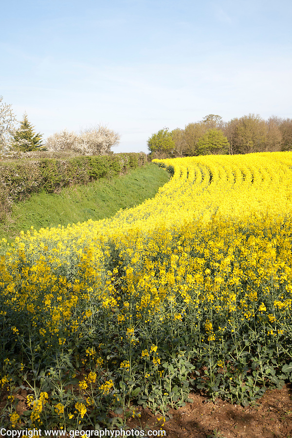 Yellow flowers of oil seed rape or canola crop growing in a field, Eyke, Suffolk, England
