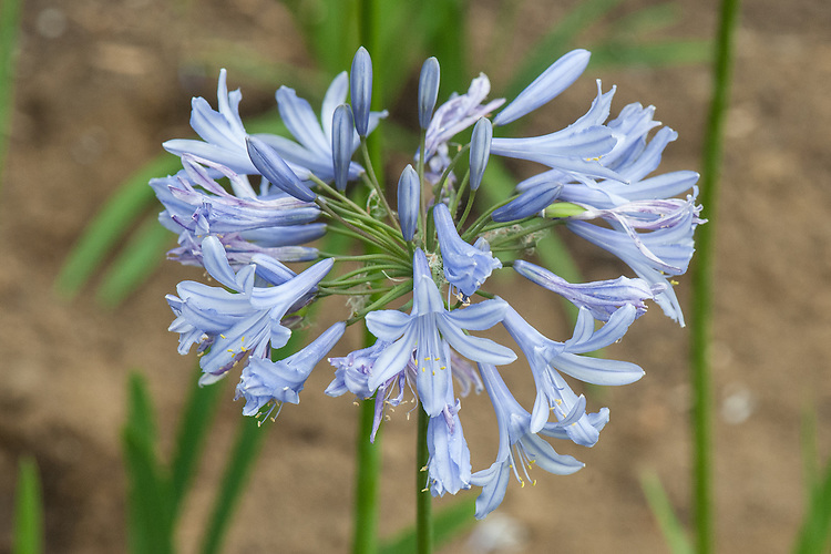 Agapanthus 'Eggesford Sky', mid August. A recently introduced, pale blue hybrid raised by Richard Fulcher of Pine Cottage Plants.