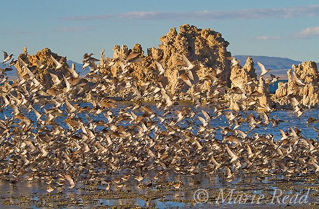 Wilson's Phalaropes (Phalaropus tricolor) flock taking flight at South Tufa, Mono Lake, California, USA