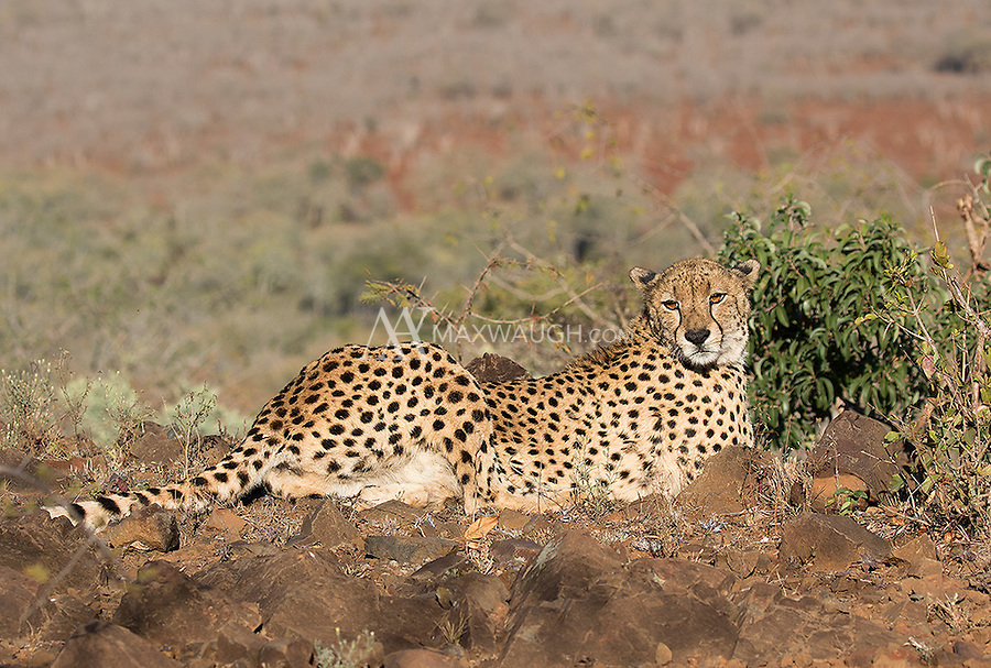 We had an opportunity to walk with this wild cheetah on foot at Zimanga.