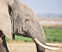 Closeup of the head and tusks of an elephant on the marshland plains of the Amboseli National Park, Kenya, Africa (photo by Wildlife Photographer Matt Considine)