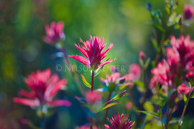 A scarlet red Indian Paintbrush flower