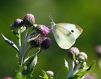 Female cabbage white