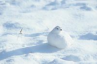 00839-00312 Willow Ptarmigan (Lagopus lagopus) in snow, Churchill  MB