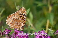 03322-017.05 Great Spangled Fritillary (Speyeria cybele) on Butterfly Bush (Buddleia davidii) Marion Co. IL