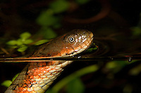 Tropical Water Snake, Amazon River Basin