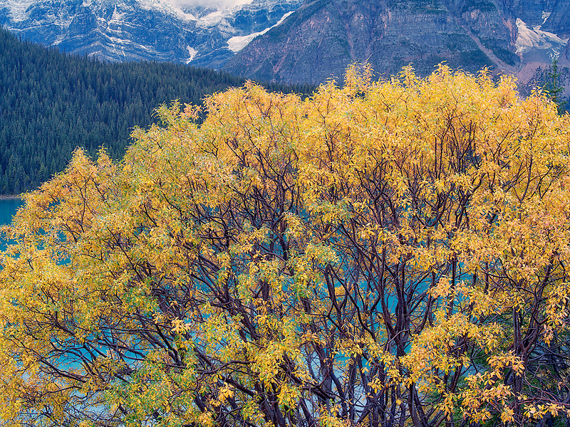 Willow tree in fall color and Waterfowl Lakes. Banff National Park, Alberta, Canada